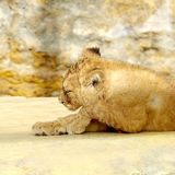 Small lion cub resting Stock Image