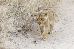 Small lion cub walking along dirt road with grass Royalty Free Stock Photography