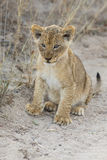 Small lion cub walking along dirt road with grass Stock Photo