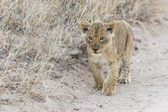 Small lion cub walking along dirt road with grass Stock Images