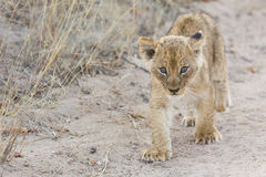 Small lion cub walking along dirt road with grass Stock Photos
