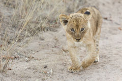 Small lion cub walking along dirt road with grass Stock Photography