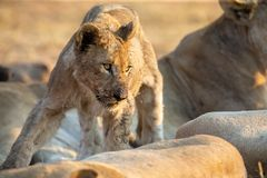 Small lion cub walking among the pride who are resting looking for mom. Small lion cub walking among the pride who are resting looking for its mom royalty free stock images