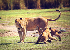 Small lion cubs with mother. Tanzania, Africa Royalty Free Stock Photography