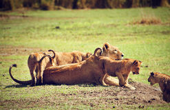 Small lion cubs with mother. Tanzania, Africa Stock Photos