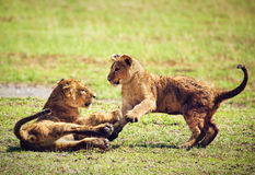 Small lion cubs playing. Tanzania, Africa Stock Image
