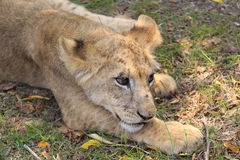 Small lion Royalty Free Stock Image