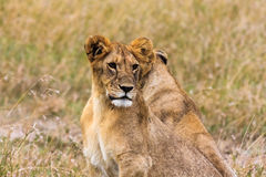 Small lion in the savanna. Masai Mara Stock Photography
