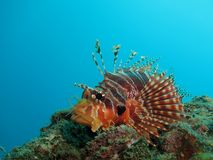 Small lionfish Stock Photography