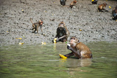 small little cute monkey eat Royalty Free Stock Photo