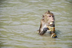 small little cute monkey eat Royalty Free Stock Photography