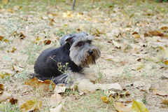 Small little dog sitting on the ground Royalty Free Stock Image