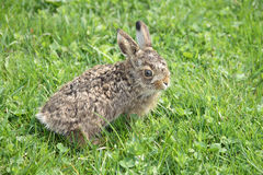 Small little hare Royalty Free Stock Image