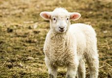 Small little lamb looks up from the field on a late afternoon winter day. Small little lamb Ovis Aries looks up from the grassy field on a late afternoon winter stock photography