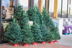 Small live Christmas trees for sale outside a US grocery store with packaged firewood in background and Open for Thanksgiving sign. In window royalty free stock photo