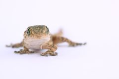 Small lizard. A macro of a little and small lizard Stock Image