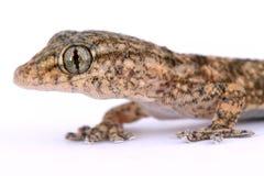 Small lizard. A macro of a little and small lizard Stock Photos