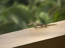 Small lizard. From Costa Rica royalty free stock image