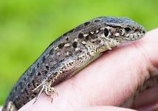 Small lizard Stock Photography