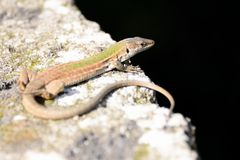 Small lizard Stock Image