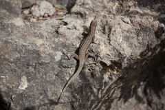 Small lizard Royalty Free Stock Photography