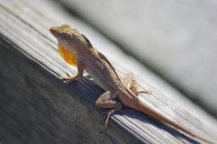 Small lizard attracting a mate Royalty Free Stock Images
