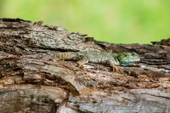 Small lizard on tree trunk Stock Photography