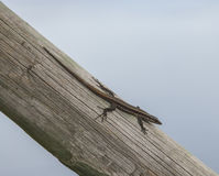 A small lizard and the blue waters of the Atlantic Ocean. A view of a small lizard on a wooden pole with a background of the blue waters of the Atlantic Ocean Stock Photography