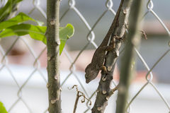 Small lizard on a branch Stock Image