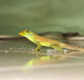 A small lizard in the caribbean Royalty Free Stock Photo