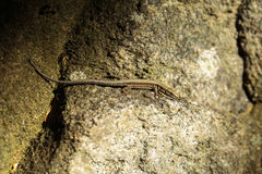 Small lizard with copyspace Stock Images