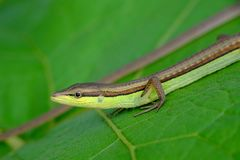 Small lizard crawling on leaves. Exposing the head and two front legs, and seem smiling Stock Photos