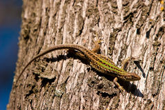 Small lizard crawling on a tree trunk. Small green lizard crawling on a tree trunk Royalty Free Stock Photography