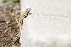 Small lizard crawls out of his hole. Royalty Free Stock Images