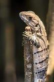 Small lizard Stock Image