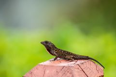 Small Lizard on Fence Post royalty free stock photography