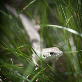 Small lizard in the grass Stock Photos