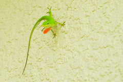 Small lizard Stock Photography