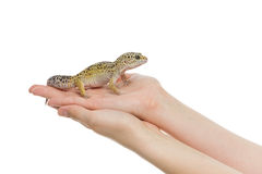 Small lizard on hands. Small gicon lizard pet sitting on hands. Isolated over white background. Copy space stock photos
