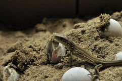 The small lizard hatched from egg Royalty Free Stock Images