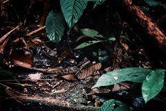 Small lizard hiding on the ground on leafs in the middle of the borneo rainforest stock photos