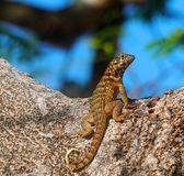 Small Lizard With Horizontal And Vertical Stripes. Sitting in the sun Guardalavaca Cuba Royalty Free Stock Images