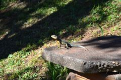 Small lizard at the Misiones jungle Stock Photos