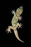 Small lizard isolated Stock Photos