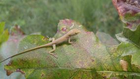 So Small. A lizard on a leaf royalty free stock photo
