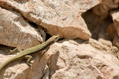 Small lizard lying on the sun. Royalty Free Stock Images