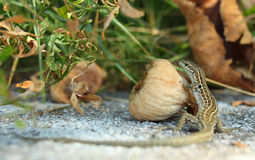 Small lizard near a fig Royalty Free Stock Images