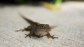 Small lizard on pavement Royalty Free Stock Image
