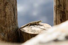 Small lizard posing on tree stump in Razan region , Russia Stock Images