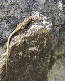 Small lizard Royalty Free Stock Photos